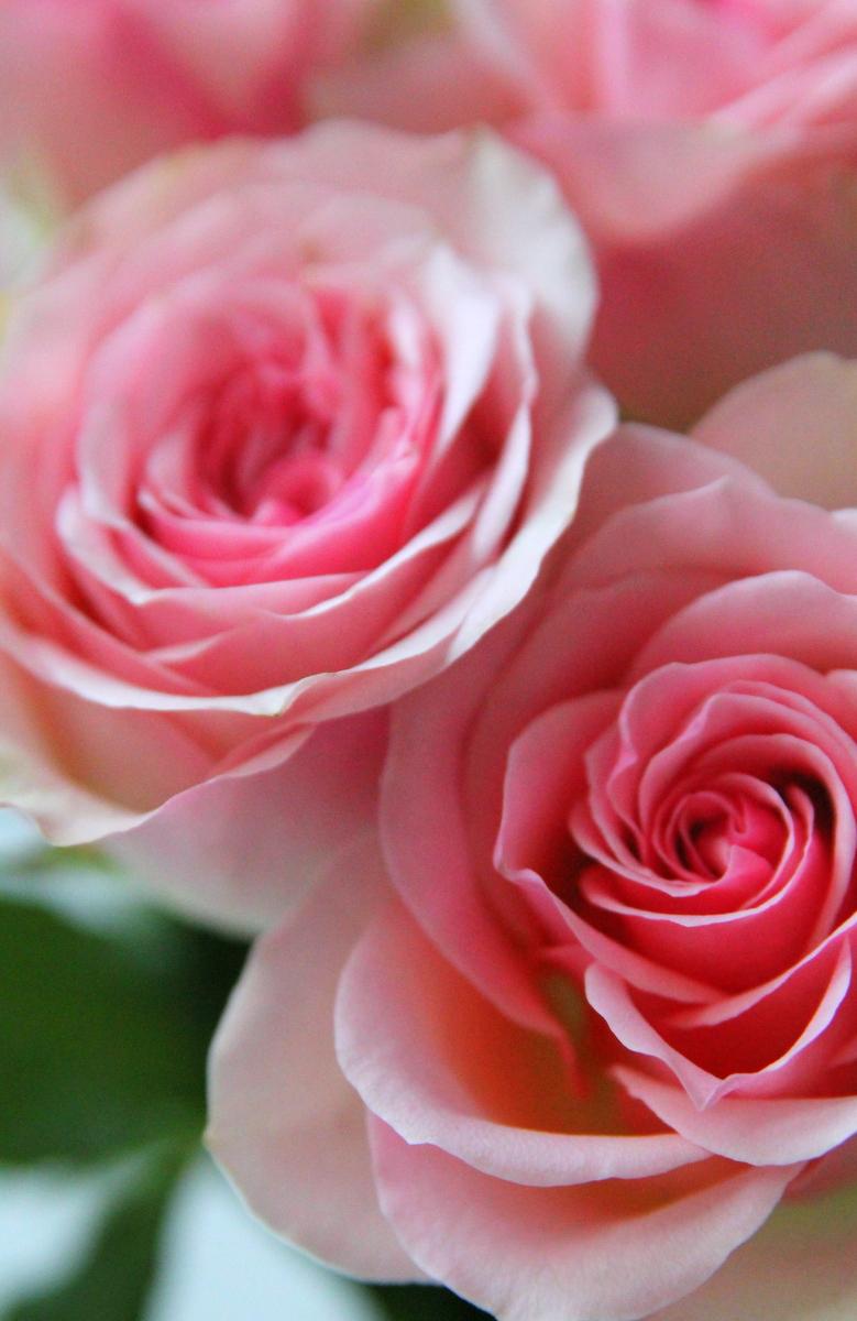 rosor bild